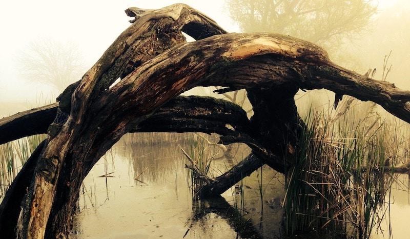 swamp ruddock